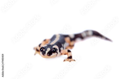 Fotografie, Obraz  Kaiser's spotted newt isolated on white