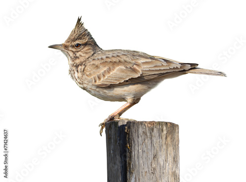 Crested Lark On White Slika na platnu