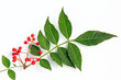 canvas print picture - Szechuanpfeffer (Zanthoxylum piperitum)