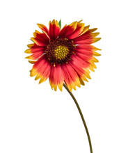Flower Coreopsis Isolated On White Background