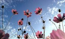 Pink Flowers In Blue Sky