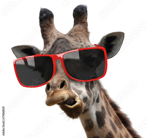 Funny fashion portrait of a giraffe with hipster sunglasses Poster