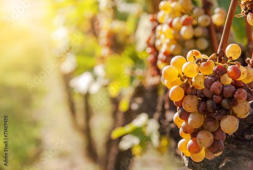 Fotografie, Obraz  Noble rot of a wine grape, botrytised grapes