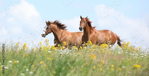 Two chestnut horses running together Poster