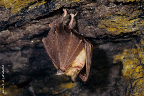 Fotografie, Obraz  rinolofo maggiore pipistrello mammifero notturno in grotta c