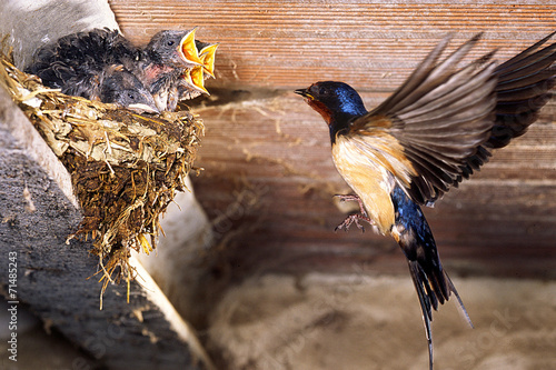 Fotografie, Obraz  rondine con piccoli rondinini nel nido