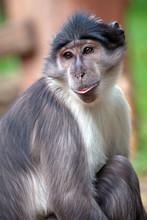 Portrait Of A Sooty Mangabey