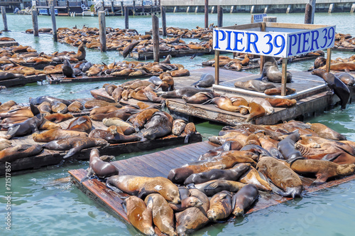 Spoed Foto op Canvas San Francisco Sea lions on pier 39 in San Francisco, USA.