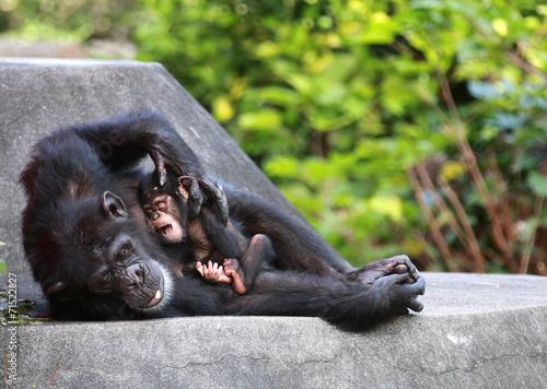 Fotografie, Obraz  チンパンジーの親子
