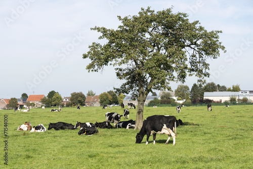 Foto op Aluminium Jacht brown and black and white cows looking for shadow