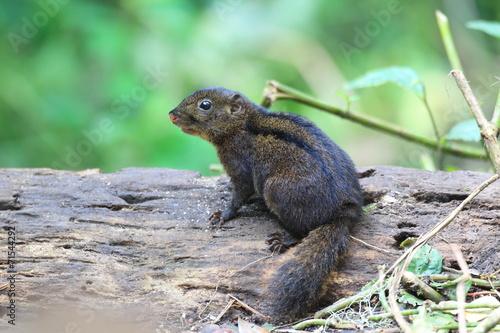 In de dag Zwavel geel Three-striped Ground Squirrel (Lariscus insignis) in Mt.Kerinci