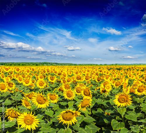 In de dag Zonnebloem Sunflower field and blue sky