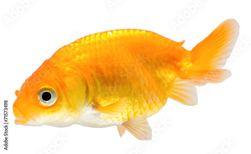 Spoed Foto op Canvas Plakjes fruit Gold fish. Isolation on the white.