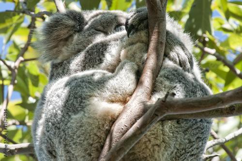 Staande foto Koala Koala relaxing on a tree