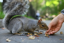 Curious Squirrel With Nut In C...