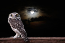 Owl And Full Moon.