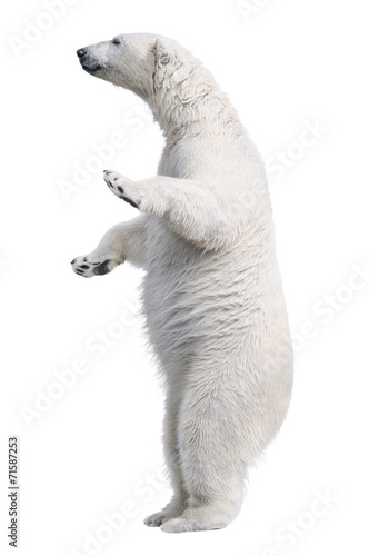 Poster Ours Blanc White polar bear stand. Isolated on white background