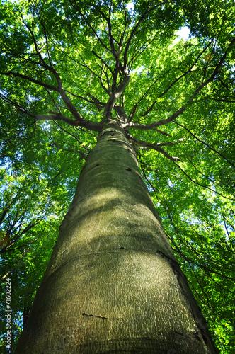 Stampa su Tela Tree trunk beech