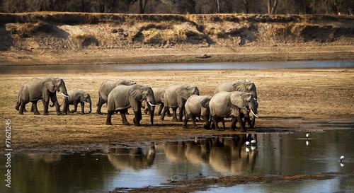 Obrazy na płótnie Canvas Large elephant herd crossing river in arid landscape