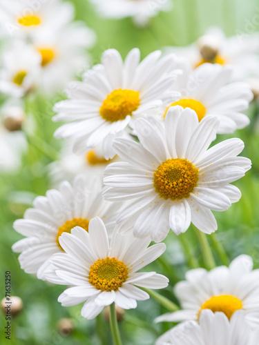 Obraz Wiosenne kwiaty margeritki - fototapety do salonu