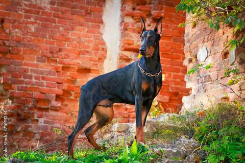 Fotografija Doberman Pinscher dog