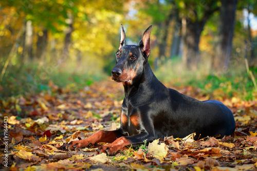 Slika na platnu Doberman Pinscher dog
