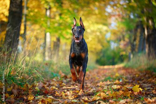 Fototapeta Doberman Pinscher dog