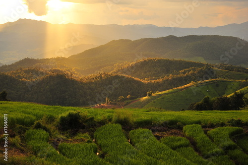 Fototapety, obrazy: Rice Paddy Fields in Green Season