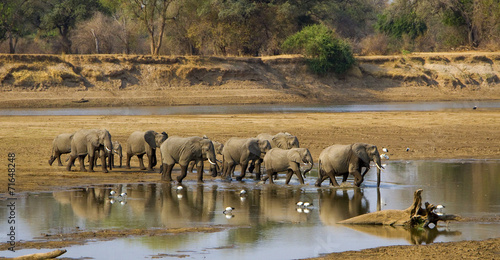 Large elephant herd crossing Luangwa river in Zambia Poster