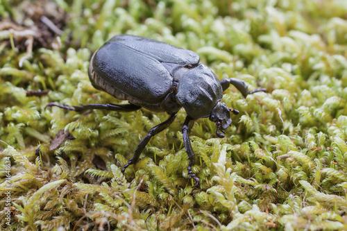 IUCN Red List specie Hermit beetle Osmoderma eremita Poster