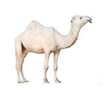 The Arabian Camel Or The Dromedary (Camelus Dromedarius).