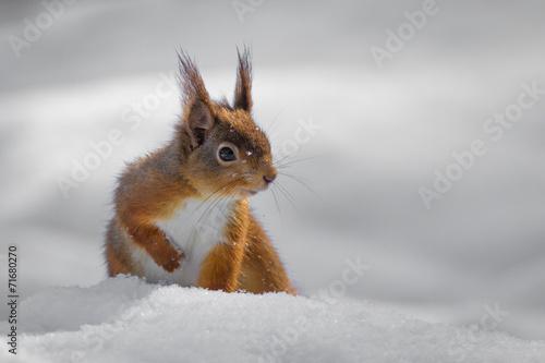 Foto op Canvas Eekhoorn Red Squirrel in snow