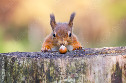 Tuinposter Eekhoorn Red Squirrel can't believe his luck