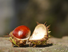 Horse Chestnut On Wall