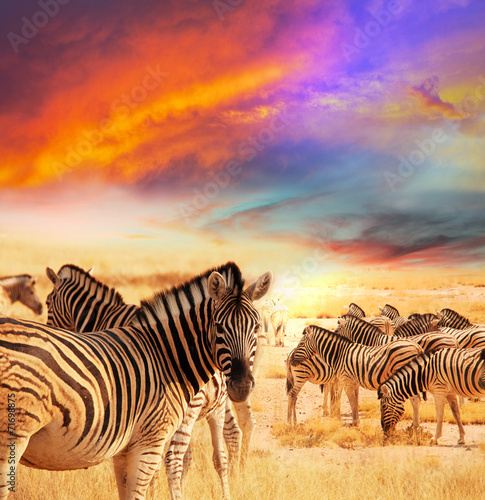 Zebra Plakát