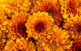 Yellow-orange chrysanthemums