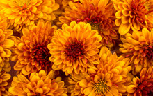 Yellow-orange Chrysanthemums