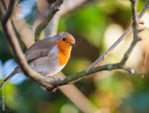 Photo  red robin bird on a tree branch