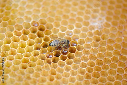 Poster Bee bees work on honeycomb