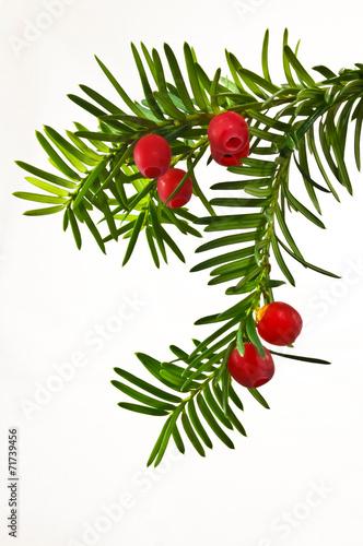 Zielona gałązka cisu z czerwonymi owocami na białym tle Fototapeta