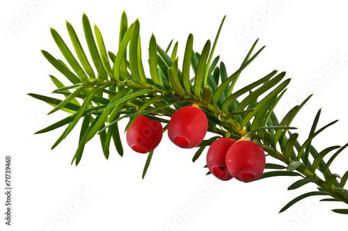 Fotografia  Zielona gałązka cisu z czerwonymi owocami na białym tle