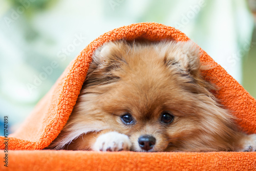 Fototapeta Pomeranian puppy with ladybirds