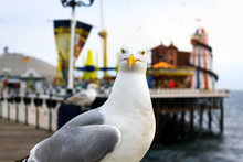 Seagull At Brighton. Shallow D...