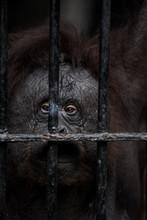 Face Of Gorilla