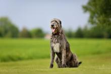 Irish Wolfhound Dog