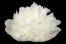White Peony Flower On Black Background