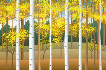 Fototapeta Jesień Fall birches