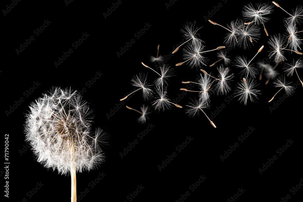 Fototapety, obrazy: Dandelion on black background.