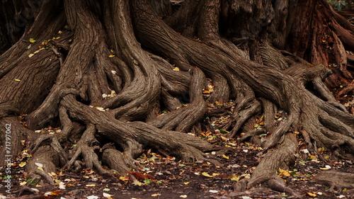 Fototapeta roots