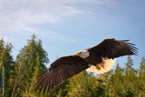 In de dag Eagle North American Bald Eagle in mid flight, hunting along river